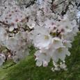 2006年の桜