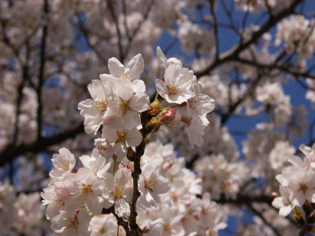 2010年の桜